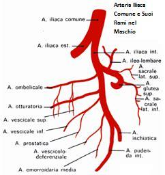 vena iliaca interna arteria iliaca interna med kom