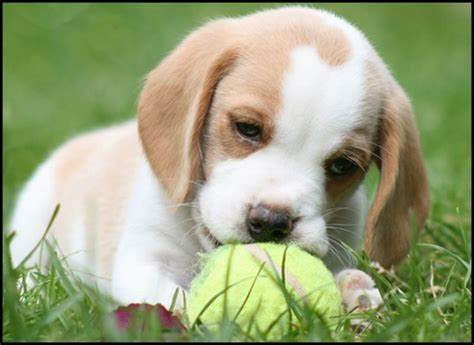 puppy lemon lemon beagle with tennis so puppies so