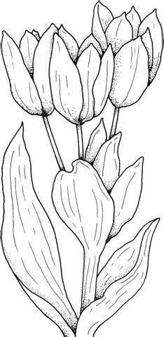tulips flower coloring page supercoloringcom