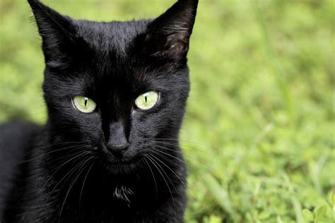 es el melanismo  espectaculares animales negros vix