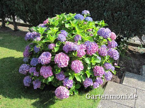 Wie Pflege Ich Hortensien 4798 by Hortensien Pflegen Und Schneiden Gartenmoni Altes