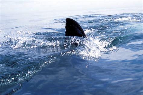 Tlf 45 Shark auto finprinting identifies individual sharks as they