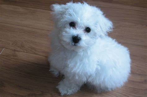 bichon puppies beautiful quality bichon frise puppies dalkeith midlothian pets4homes