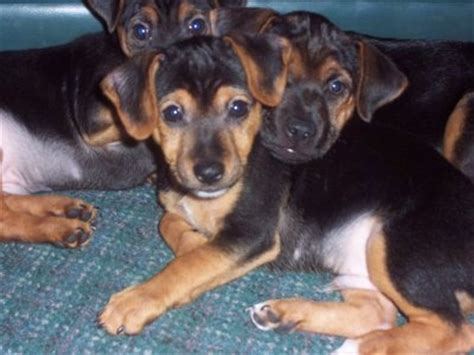 yorkie cross puppies yorkie yorkie x terrier mix facts temperament puppies pictures