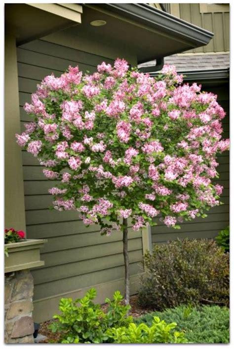 25 best ideas about dwarf lilac tree on pinterest dwarf lilac lilac tree and dwarf trees