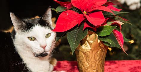 Piante Tossiche Per Gatti by Piante Di Natale Tossiche Per Cani E Gatti