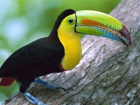 imagenes tucanes reales animales extra 209 os y curiosidades animales tuc 193 n ramphastos
