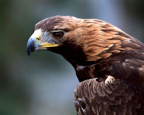 hd wallpapers golden eagles