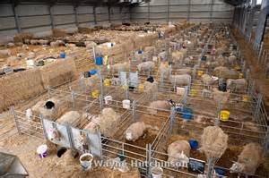 Barn House Layouts Wayne Hutchinson Photography Sheep In Lambing Shed Cumbria