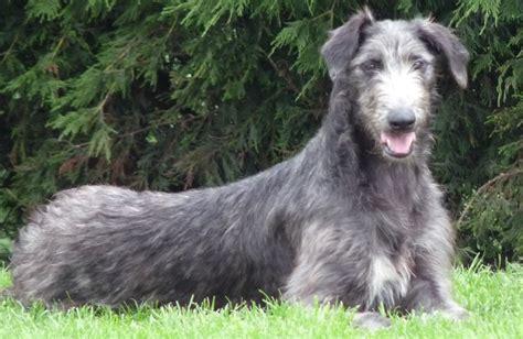 lurcher puppies deerhound lurcher puppies gainsborough lincolnshire pets4homes