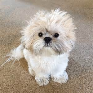 food shih tzu recommended foods for shih tzu shih tzu daily