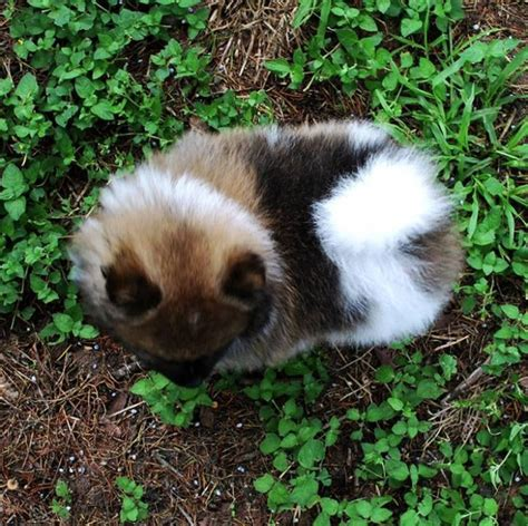 pomeranian puppies for sale in ontario 2 pomeranian puppies for sale ontario canada horses for sale canada