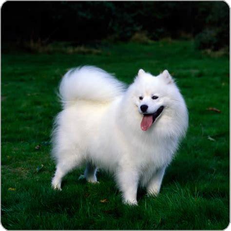 show me types of dogs samoyed breeds purina australia