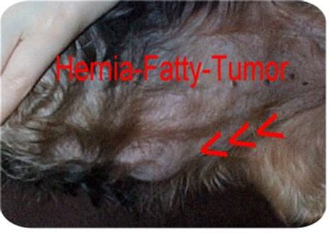shih tzu fatty tumors chihuahua clothes shih tzu chihuahua mix adopt puppy and chihuahua na