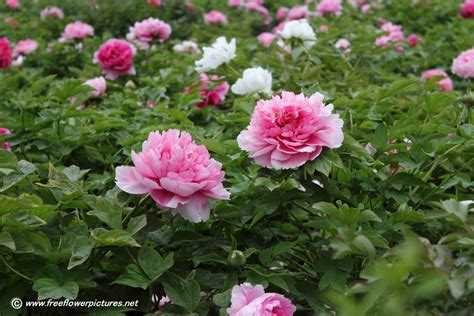 tree peony picture flower pictures 880