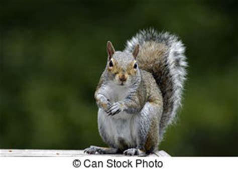 scoiattolo alimentazione scoiattoli immagini e archivi fotografici16 057 scoiattoli