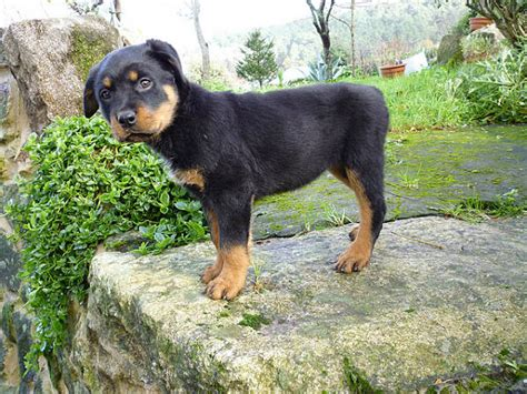 how many puppies can a rottweiler rottweiler fantastic pet care uk