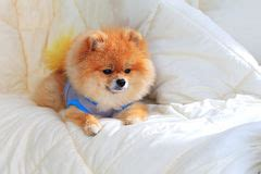 pomeranian wearing clothes pet grooming stock photos images pictures 12 744 images