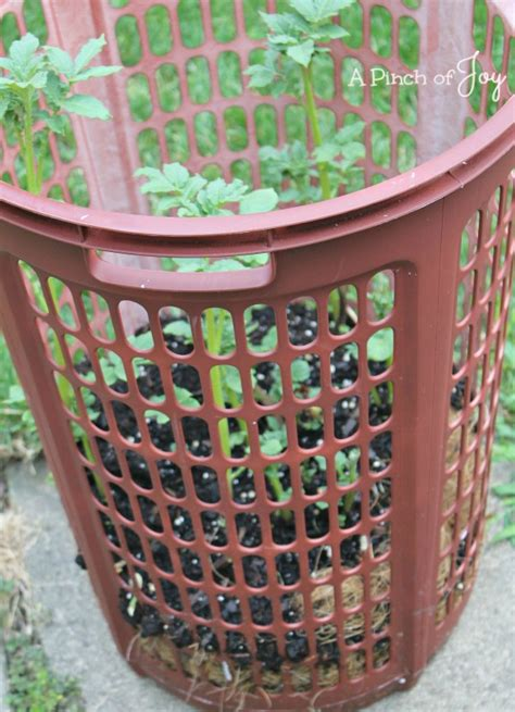 container potato gardening grow potatoes in a container