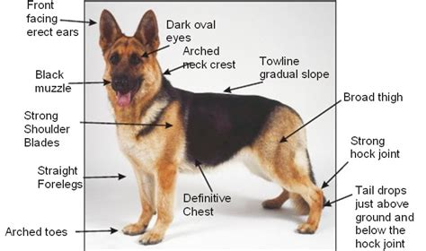 characteristics of dogs german shepherd physical characteristics physical german shepherd breeds picture