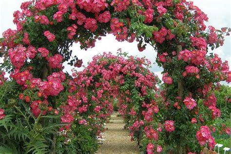 ideas for climbing rose supports climbing trellises corner
