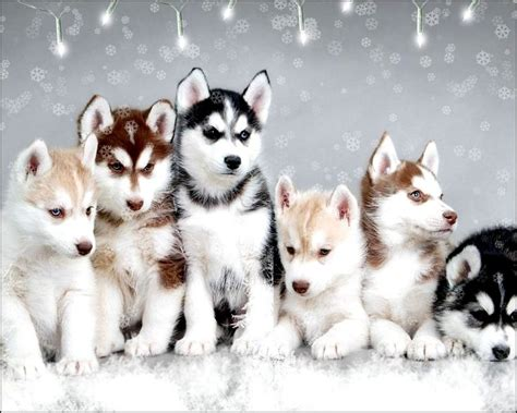 teacup husky puppies for sale 25 best ideas about pomsky for sale on pomsky puppies for sale pomsky