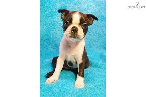 miniature boston terrier puppies for sale in ohio miniature boston terrier puppies michigan breeds picture