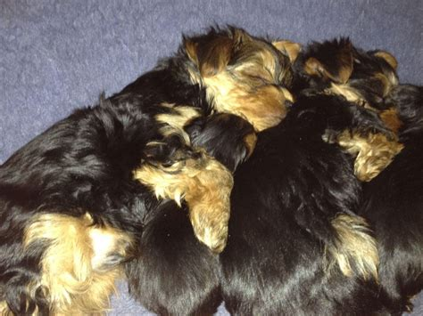 yorkie puppies for sale upstate ny upstate new yorkies terrier puppies for sale
