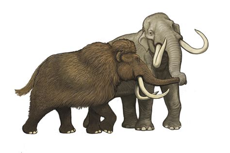 complete columbian mammoth mitogenome suggests interbreeding  woolly mammoths mcmaster