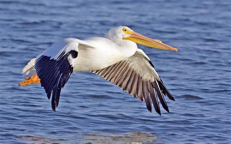 Vigel Pelicin american white pelican wallpapers 3d hd wallpapers