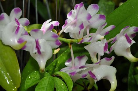 top 28 blooming orchid orchids in bloom dendrobium alaticaulinum 3 ways to get orchids to