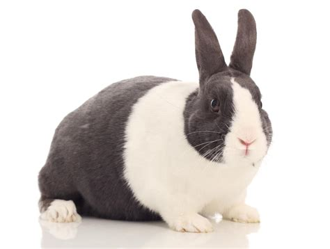 how long do house cats live how long do dutch rabbits live