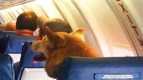 puppy on plane op ed the future of flying delta s passenger goes viral