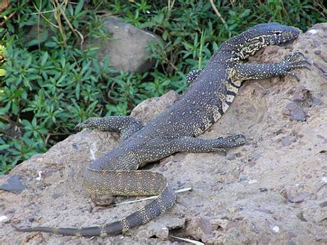 Nile Monitor lizard our world
