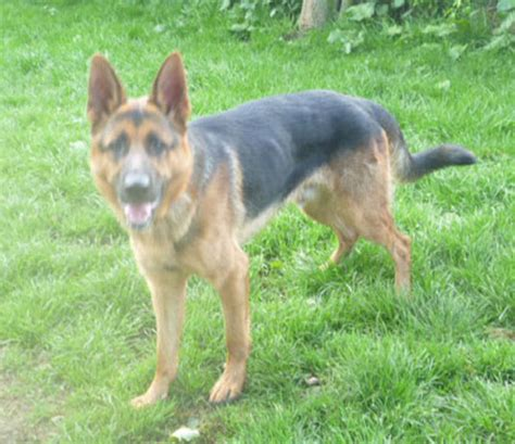 shepherd puppies for rehoming german shepherd dogs for rehoming in the east
