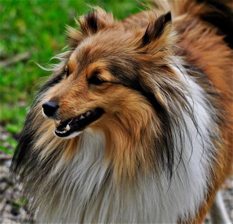 sheltie breed portrait of a beautiful sheltie breed wallpapers and images wallpapers pictures