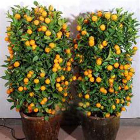 fruit trees for sale in michigan 30x calamondin minature sweet fruit tree seed citrus