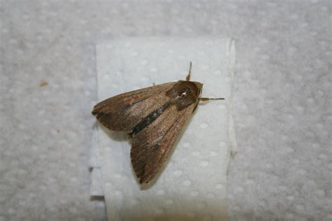Small Moths In Pantry by Small Brown Moths Kitchen Gotken Collection Of