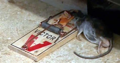 Harga Pelet Buat Kelinci kelinci wong kito buat perangkap tikus sendiri yuk