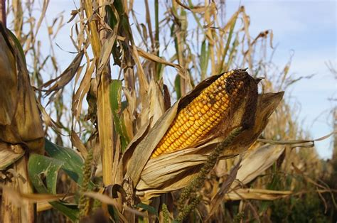 difference  maize  corn