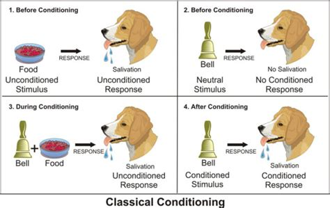 pavlov experiment classical conditioning and pavlov s experiment fos media students