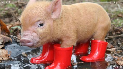 wallpaper cute pig cute pig wallpaper 183