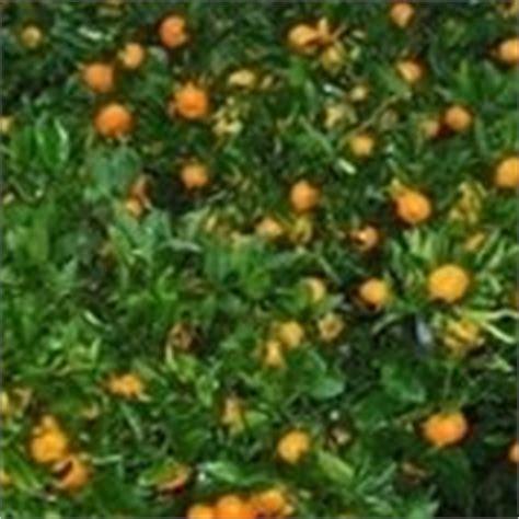 concimazione agrumi in vaso concimazione limoni concime come e quando concimare limoni