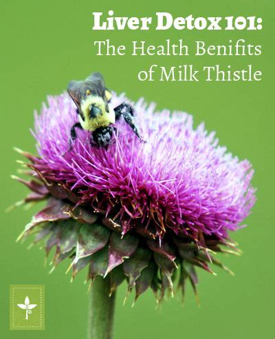 Health Benefits Of A Liver Detox by Liver Detox 101 The Health Benefits Of Milk Thistle