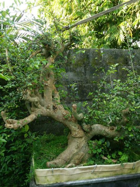 Serut Serut 206 serut 3 jual bonsai murah pohon tanaman indonesia asia