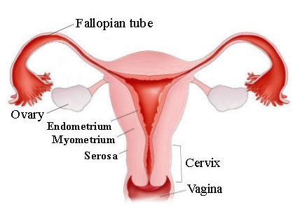 Lining Of Your Uterus Shedding During Menstruation by Endometrial Thickness Olive Fertility Centre Vancouver
