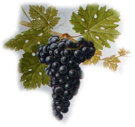 imagenes de uvas tintas variedades de uvas merlot malbec sauvigon cabernet syrah