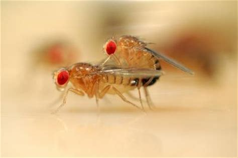 why do i have fruit flies in my bathroom why do humans have sex fruit flies may offer clues about