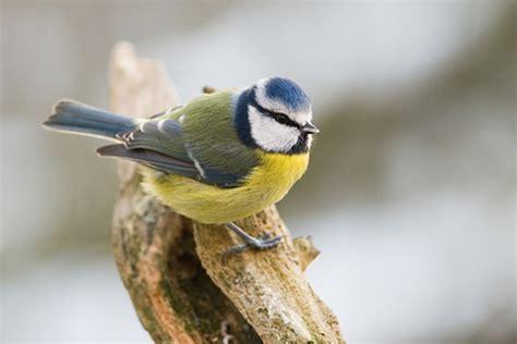 blue bird print nt nature photos