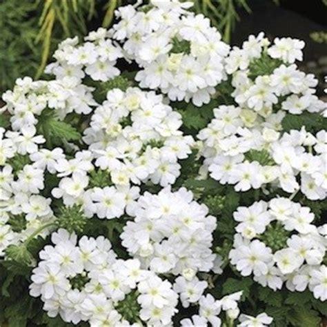 verbena shrub with white flowers verbena verbena seeds 9 verbenas annual flower seeds